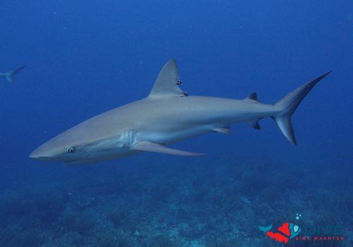 TYPH Caribbean Reef Shark