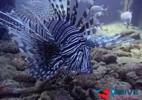 TYPH Lion Fish
